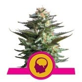 Amnesia Haze (Royal Queen Seeds) feminized