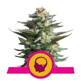 Amnesia Haze (Royal Queen Seeds) feminisiert