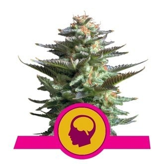 Amnesia Haze (Royal Queen Seeds) feminized