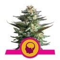 Amnesia Haze (Royal Queen Seeds) femminizzata