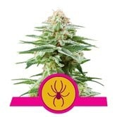 White Widow (Royal Queen Seeds) femminizzata