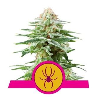 White Widow (Royal Queen Seeds) feminisiert