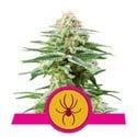 White Widow (Royal Queen Seeds) feminisiert