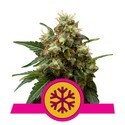 Ice (Royal Queen Seeds) feminisiert