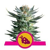 Fruit Spirit (Royal Queen Seeds) feminized