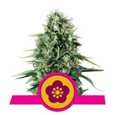 Power Flower (Royal Queen Seeds) feminisiert
