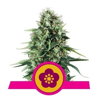 Power Flower (Royal Queen Seeds) feminisiert