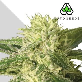 Auto 1 (Auto Seeds) femminizzata
