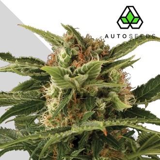 Auto Pounder (Auto Seeds) femminizzata