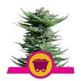 Shining Silver Haze (Royal Queen Seeds) feminisiert