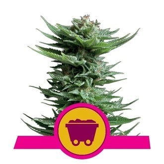 Shining Silver Haze (Royal Queen Seeds) feminized