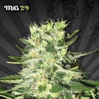 Mig 29 (Auto Seeds) feminized