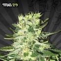 Mig 29 (Auto Seeds) feminisiert