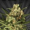 Pineapple Punch (Auto Seeds) feminisiert