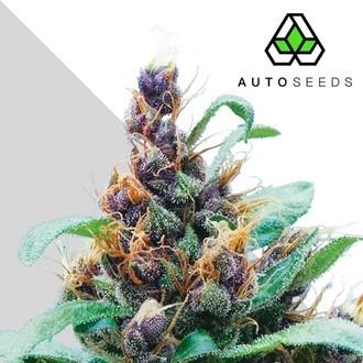 Purple Stilton (Auto Seeds) femminizzata