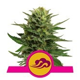 Blue Mistic (Royal Queen Seeds) feminized