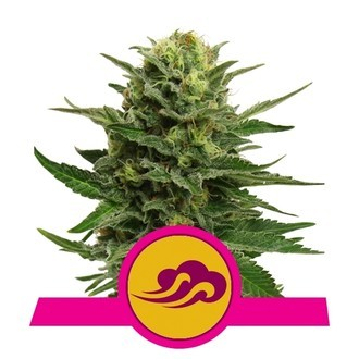 Blue Mystic (Royal Queen Seeds) feminisiert