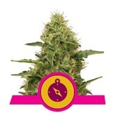 Northern Light (Royal Queen Seeds) feminized