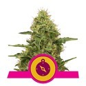 Northern Light (Royal Queen Seeds) feminisiert
