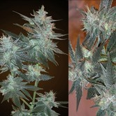 L.A. Ultra (Resin Seeds) feminized