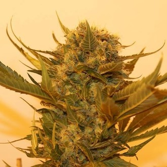 Sour P (Resin Seeds) feminisiert