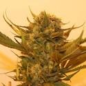 Sour P (Resin Seeds) feminized