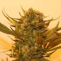 Sour P (Resin Seeds) femminizzato