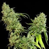 Cannatonic (Resin Seeds) feminized