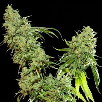 Cannatonic (Resin Seeds) feminisiert
