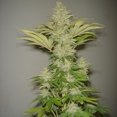 Bubblicious (Resin Seeds) feminized