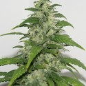Yummy (Resin Seeds) feminized