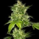 Autoflower Haze (Bulldog Seeds) feminized