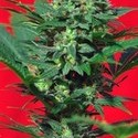 Speed Devil 1 (Sweet Seeds) feminisiert
