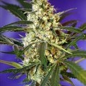 Fast Bud 1 (Sweet Seeds) feminized