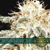 Russian Snow (Vision Seeds) femminizzata