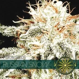 Russian Snow (Vision Seeds) feminisiert