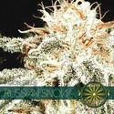 Russian Snow (Vision Seeds) feminisiert