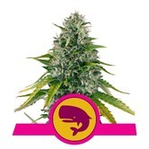 Royal Moby (Royal Queen Seeds) femminizzata