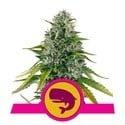 Royal Moby (Royal Queen Seeds) feminisiert