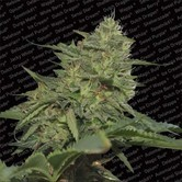 Original Cheese (Paradise Seeds) femminizzata