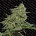 Original Cheese (Paradise Seeds) feminisiert
