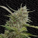 Auto Whiteberry (Paradise Seeds) feminized