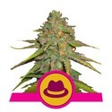 O.G. Kush (Royal Queen Seeds) femminizzata