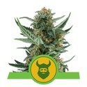 Royal Dwarf (Royal Queen Seeds) feminisiert