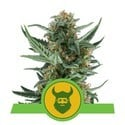 Royal Dwarf (Royal Queen Seeds) feminized