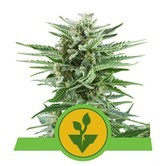 Easy Bud (Royal Queen Seeds) feminisiert