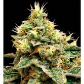 Confidential Cheese (Reserva Privada) feminized