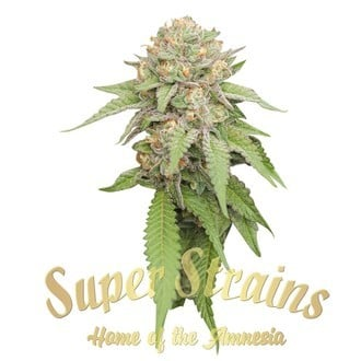 Enemy Of The State (Super Strains) feminized