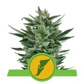 Quick One (Royal Queen Seeds) feminisiert