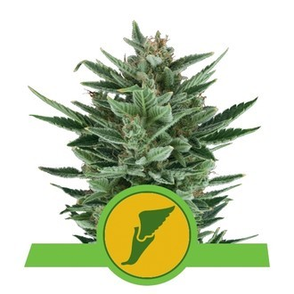 Quick One (Royal Queen Seeds) femminizzata